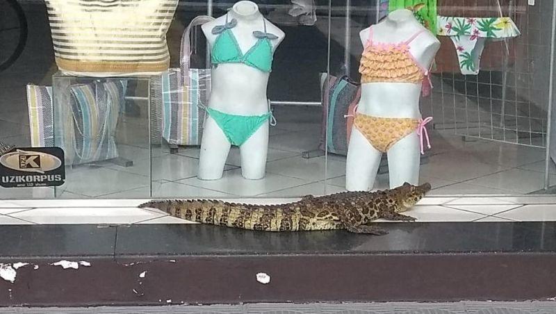 Jacaré de 1,5 metro é flagrado em frente a loja de roupas após chuva em SP