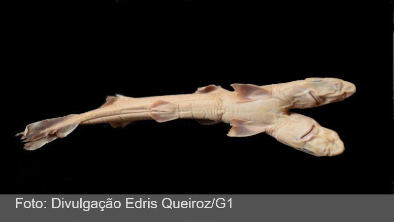 Tubarão de duas cabeças é achado no litoral de SP e intriga pesquisadores