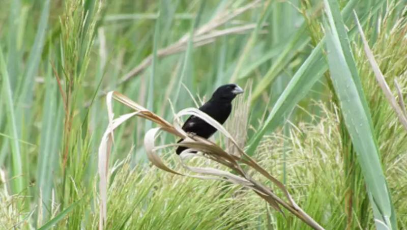 Depois de 80 anos sem ser vista, ave rara é encontrada em Minas Gerais