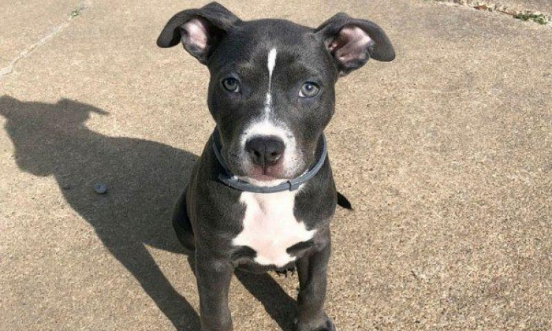Pet shop proíbe a entrada de cão em festa por ser um Pit Bull