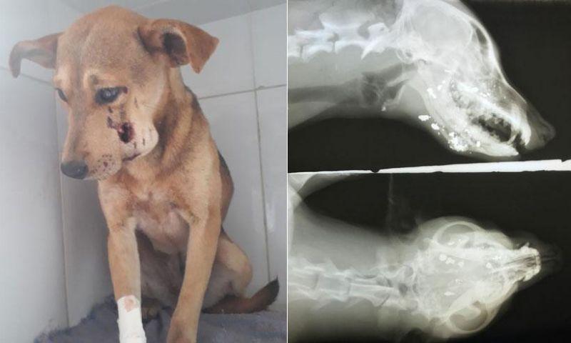 Cadela ferida a tiros melhora, mas quadro ainda é muito grave