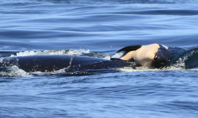 Orca está há 17 dias carregando filhote morto e preocupa biólogos