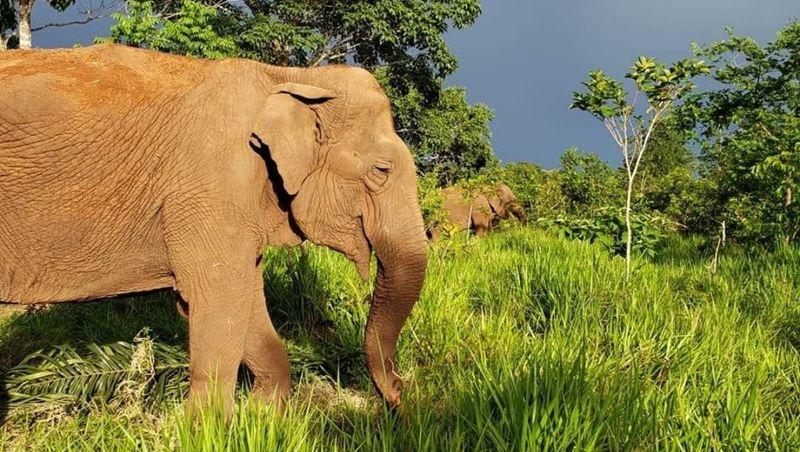 Presença de elefantas em santuário provoca equilíbrio da flora e fauna em MT, diz Sema