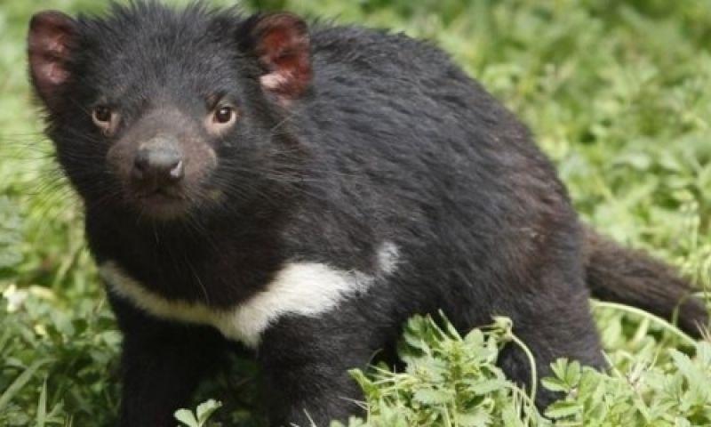 Como uma molécula descoberta no Brasil pode salvar diabo-da-tasmânia de extinção