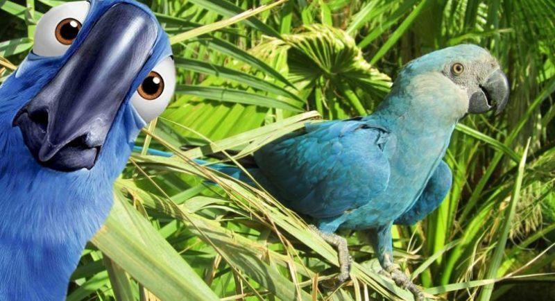 Reintrodução da ararinha-azul na natureza deve começar no ano que vem