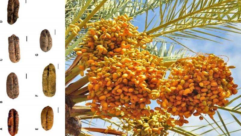 Pesquisadores acham sementes de 2 mil anos e revivem árvore romana