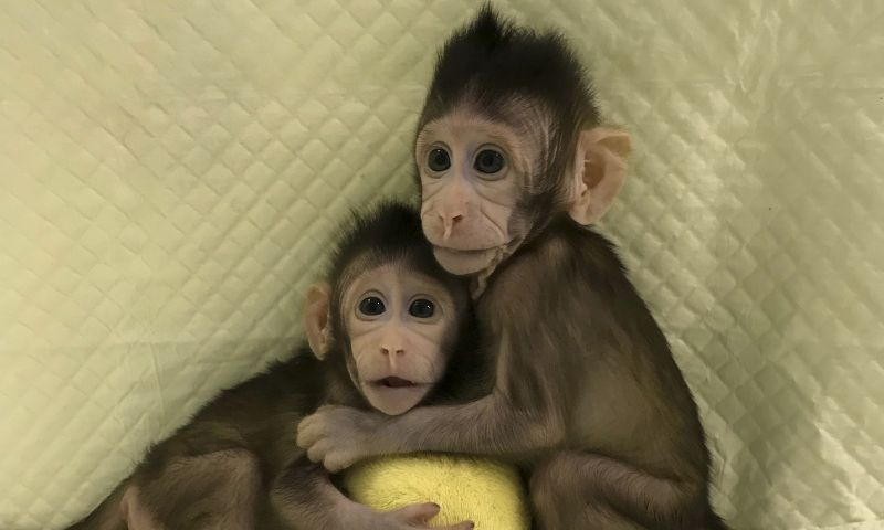 Pela primeira vez, cientistas chineses clonam macacos com mesma técnica da ovelha Dolly