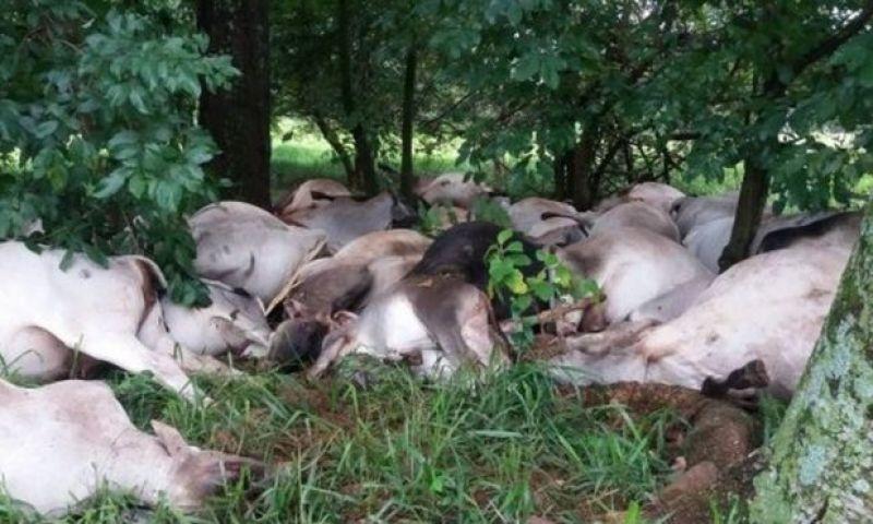 Carne dos 84 bois mortos por raio no interior de São Paulo não poderá ser consumida