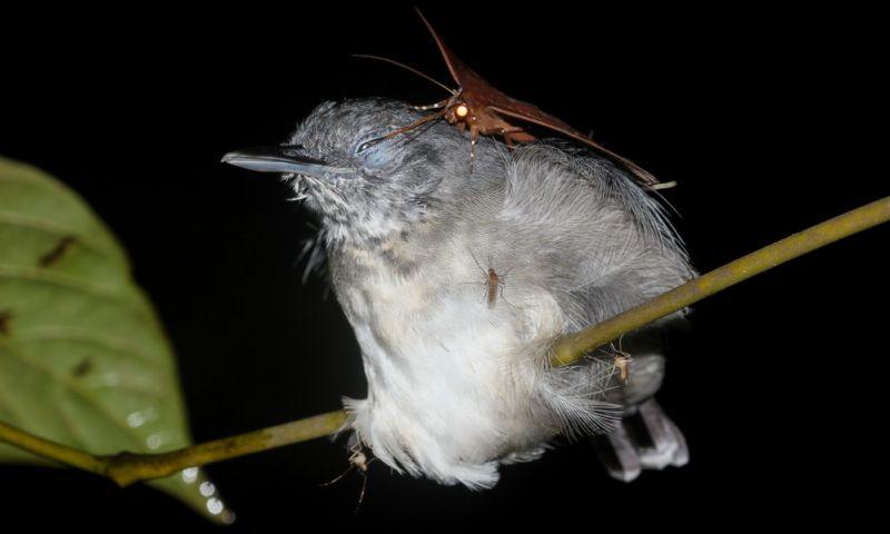 VÍDEO: Biólogo brasileiro registra relação rara entre mariposa e ave