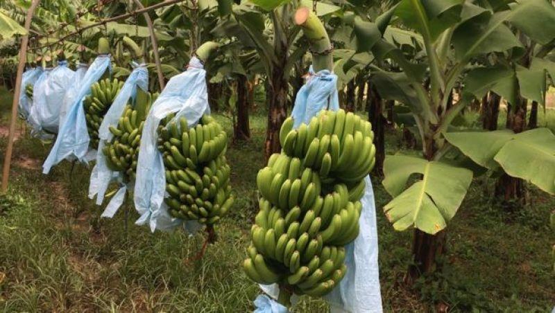 Doença ameaça dizimar bananas pelo mundo