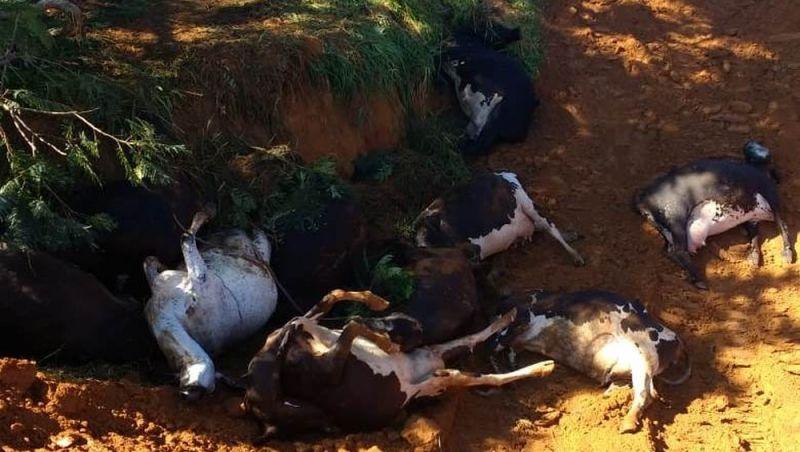 Mais de 20 vacas morrem após raios atingirem fazenda entre Ubá e Tocantins