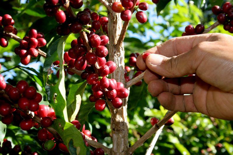 Exportação de café cai 9% em fevereiro