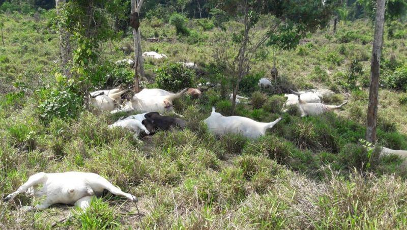 Sitiante que fez financiamento para compra de gado, perde metade do rebanho após queda de raio em MT