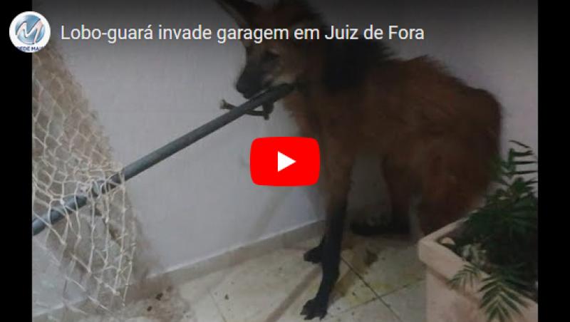 Lobo-guará invade garagem em Juiz de Fora