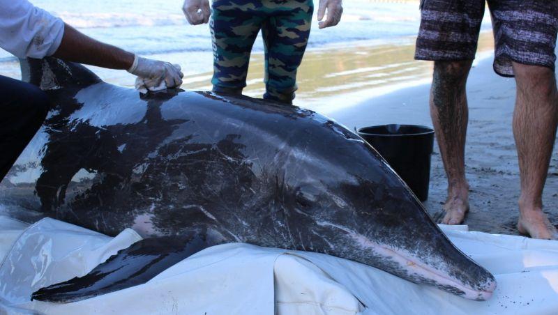 Golfinho é resgatado após encalhar em praia de Ubatuba, SP