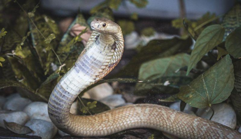 Serpentes apreendidas em Brasília já estão no Butantan