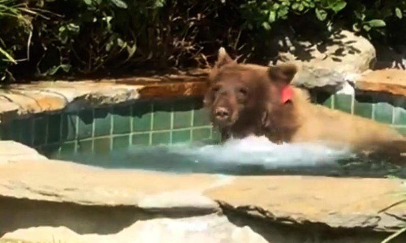 Urso toma banho em piscina aquecida e assusta morador na Califórnia