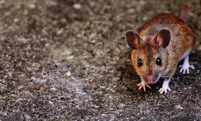 Nova droga em testes para diabetes controlou Alzheimer de ratos, diz estudo