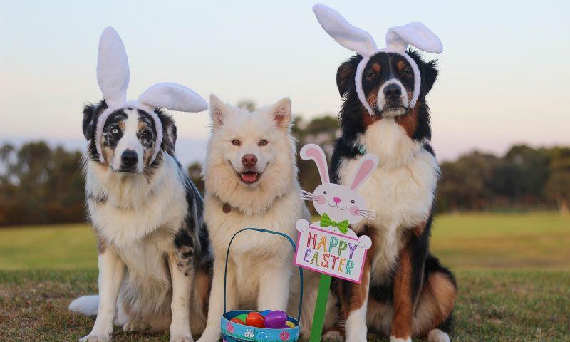 Substância presente no chocolate causa intoxicação em cachorros; entenda