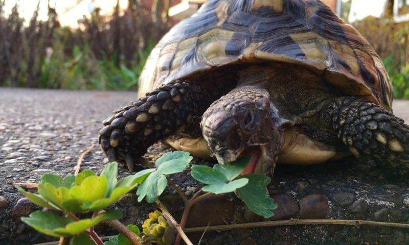 Tartaruga foge e é encontrada 9 meses depois a 200 metros de casa