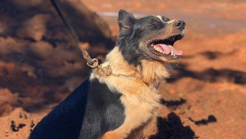 Cão que atuou em Mariana e Brumadinho morre em MG