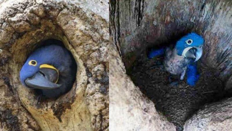 Araras azuis nascem em área de queimadas na Amazônia