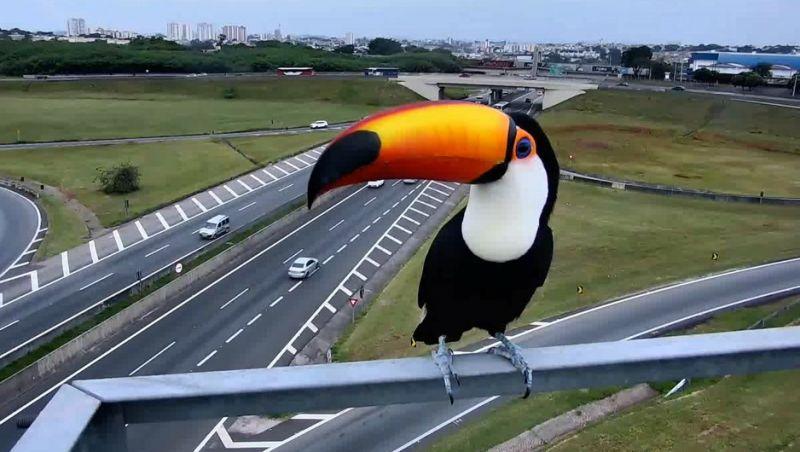 Tucano é flagrado por câmera de monitoramento na Rodovia Anhanguera, faz charme e viraliza; vídeo