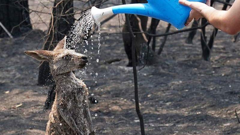 Canguru pede ajuda a garoto após incêndio na Austrália e fotos viralizam