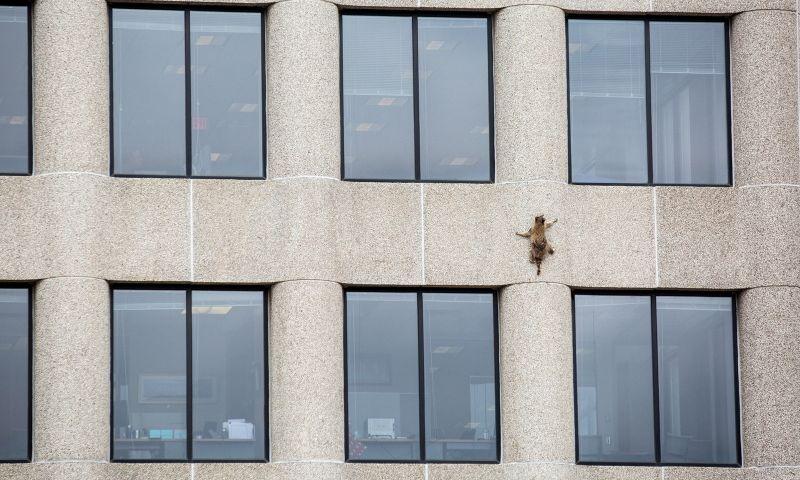 Guaxinim que escalou prédio de 23 andares é devolvida à natureza nos EUA