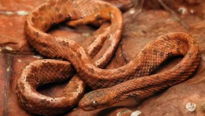 Pesquisadores da UFV registram espécie rara de serpente na Zona da Mata