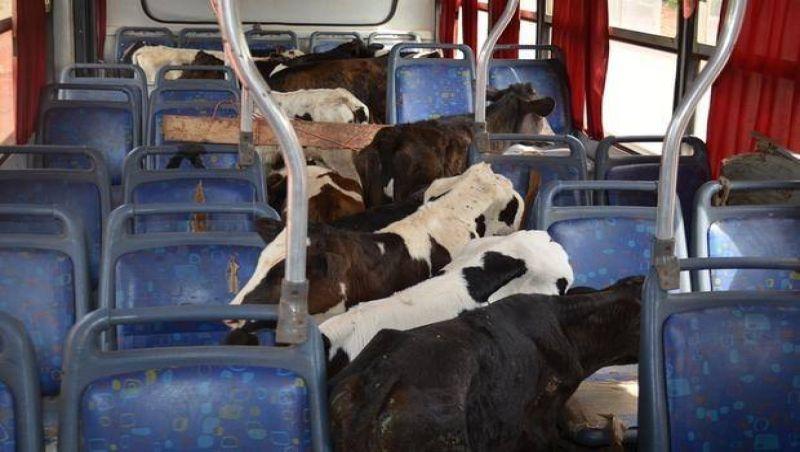 Ônibus escolar com 41 bezerros é apreendido em Patos de Minas