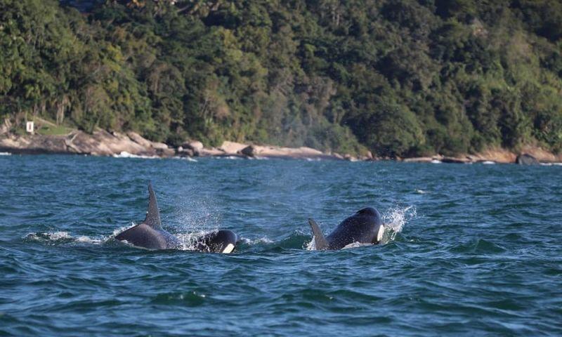 Família de orcas é avistada no canal de São Sebastião, SP