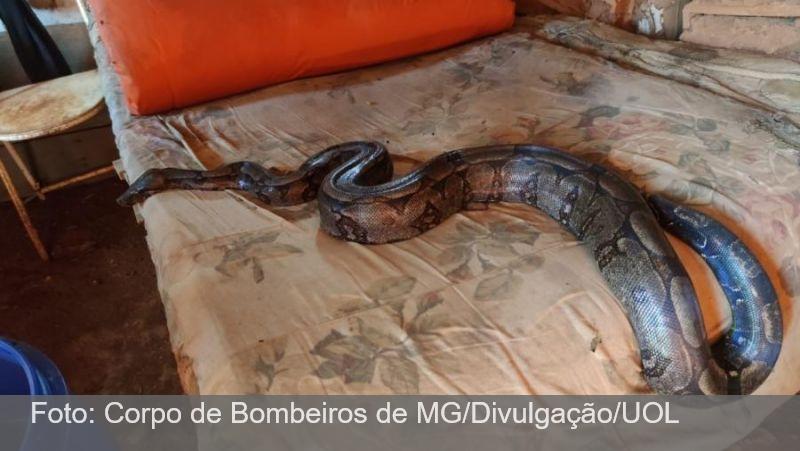 No interior de MG, moradora encontra jiboia de 3 m em cima da cama