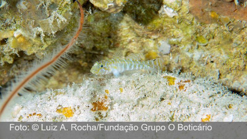 Cientistas brasileiros descobrem 4 novas espécies de peixes em Fernando de Noronha