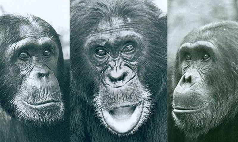 Os motivos por trás da Guerra dos Chimpanzés, a única registrada entre animais