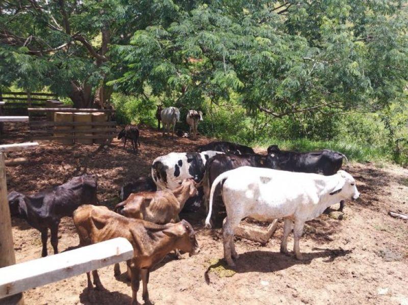 PM localiza em Visconde do Rio Branco gado roubado em distritos de Cataguases