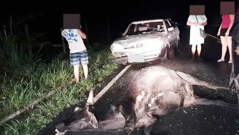 Carro atropela e mata vaca na rodovia MG-126 próximo a São João Nepomuceno