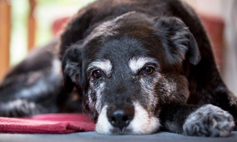 Conheça as doenças que mais atingem os cães idosos
