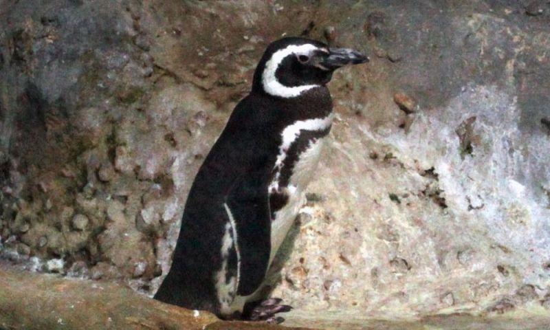 Primeiro pinguim nascido em cativeiro no país morre aos 16 anos, em Santos