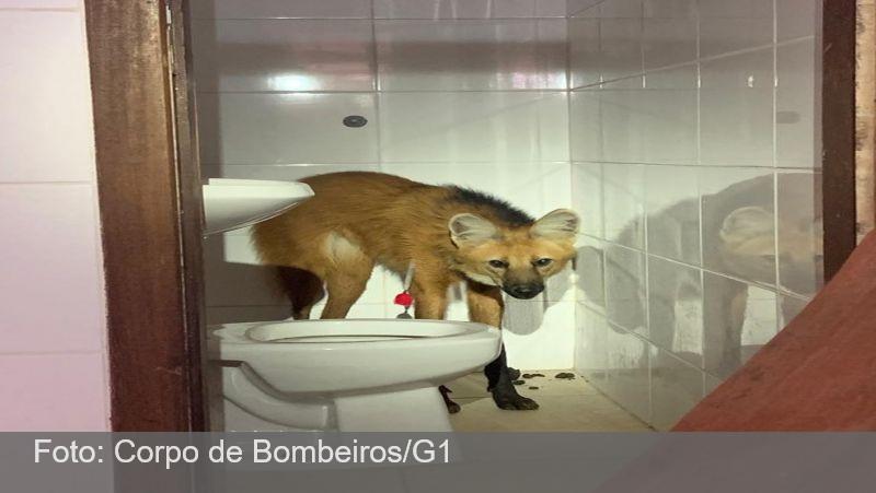 Lobo-guará é capturado após invadir casa na Região Metropolitana de BH