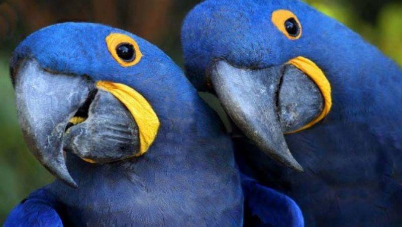 Acordo entre ICMBio e ONG alemã reintroduzirá ararinha-azul no Brasil
