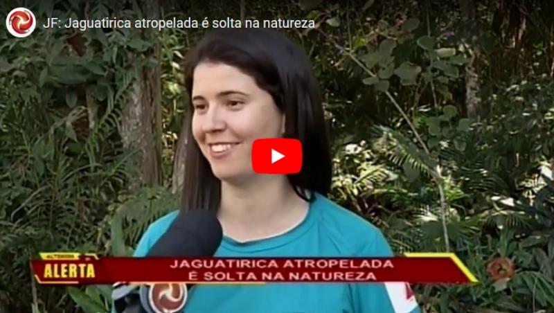 JF: Jaguatirica atropelada é solta na natureza