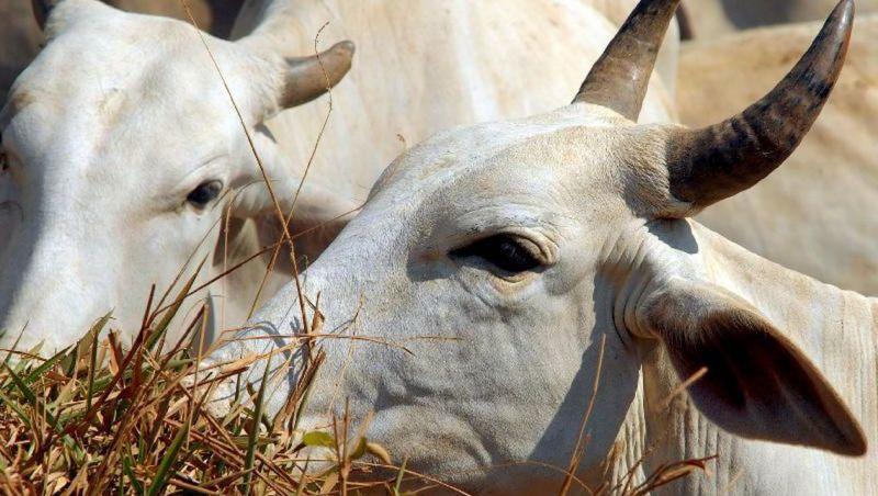 Países se mobilizam contra exportação de animais vivos