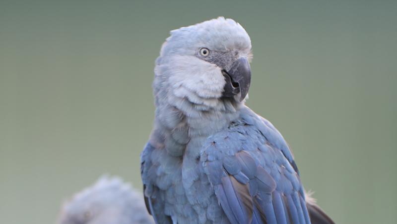 Ararinhas-azuis chegam ao Brasil nesta terça-feira