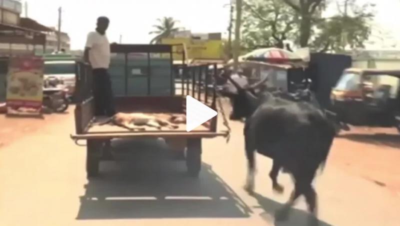 Vaca corre atrás de carroça que levava filhote a hospital na Índia