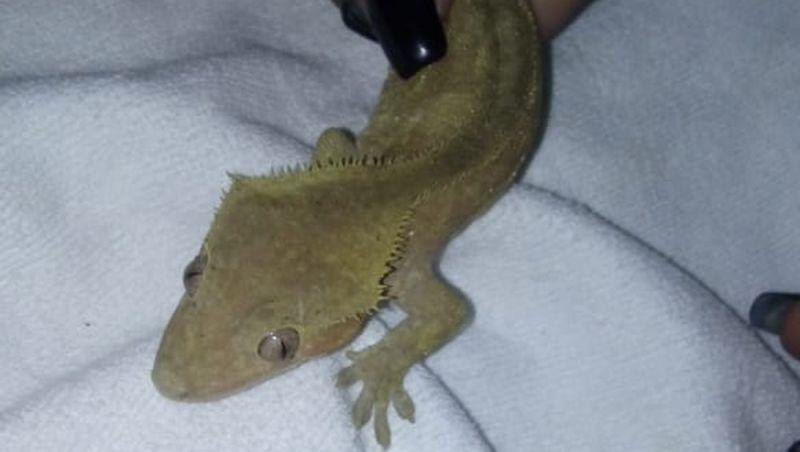 Rara lagartixa do Pacífico é achada em encomenda nos Correios em SP; animal já foi considerado extinto
