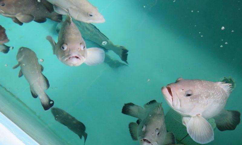Laboratório no litoral norte de SP reproduz peixes de espécies em extinção
