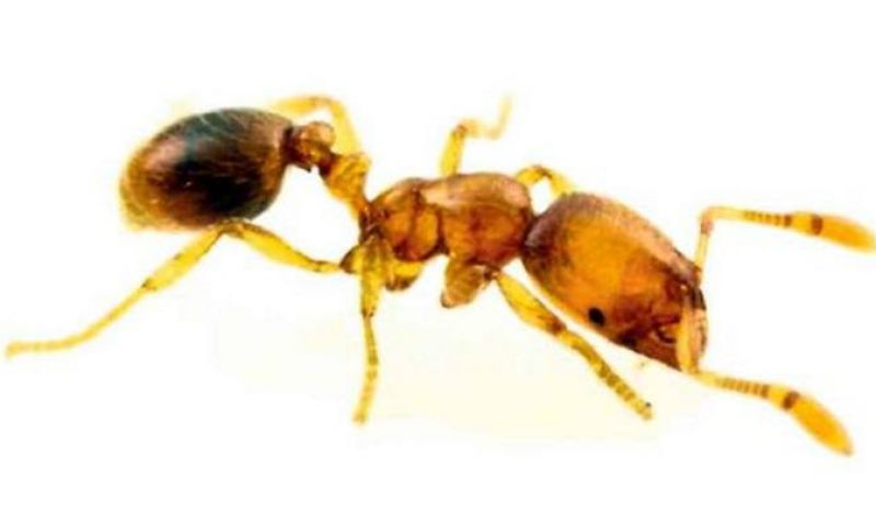 Antibiótico de formiga poderá ser usado em humanos