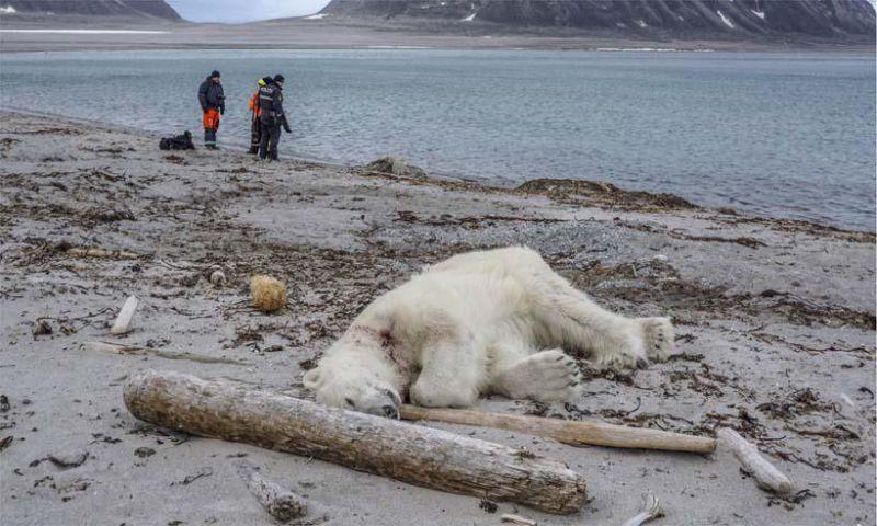 Urso polar é morto a tiros após atacar homem em arquipélago norueguês