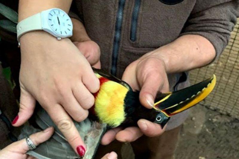 Ave resgatada tem penas transplantadas no Paraná